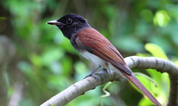 紫寿带鸟:拥有紫色的20厘米长尾(神秘而美丽)